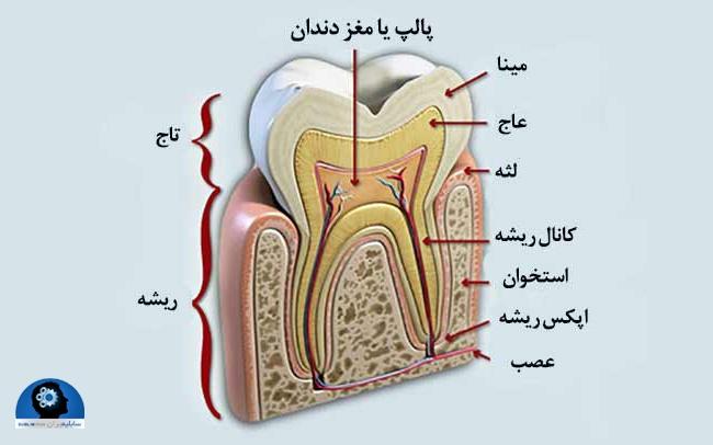 ساختمان دندان با شرح ساختمان تاج و ریشه دندان